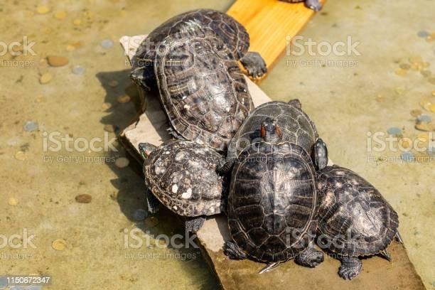 Several turtles have a rest about water picture id1150672347?b=1&k=6&m=1150672347&s=612x612&h=jer3tdpvbcaj9u1edn9fikf048galewasquuabqmgfi=