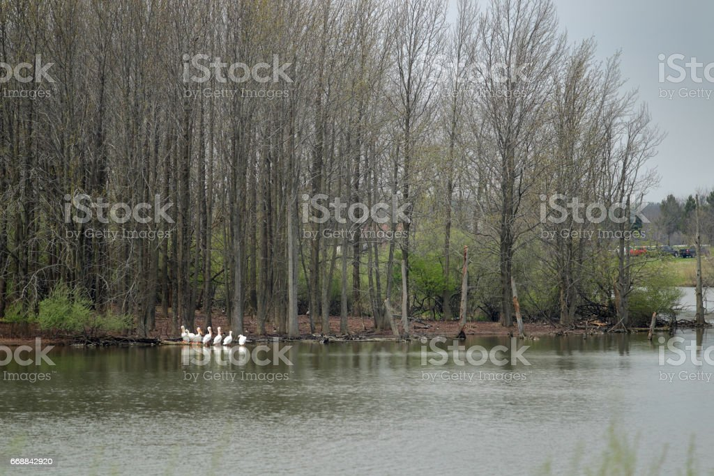 Several white pelicans gather near the shore of a reservoir where Canadian geese also gather stock photo