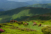 Several wild horses on mountain hills. Green grass. Warm summer photo.