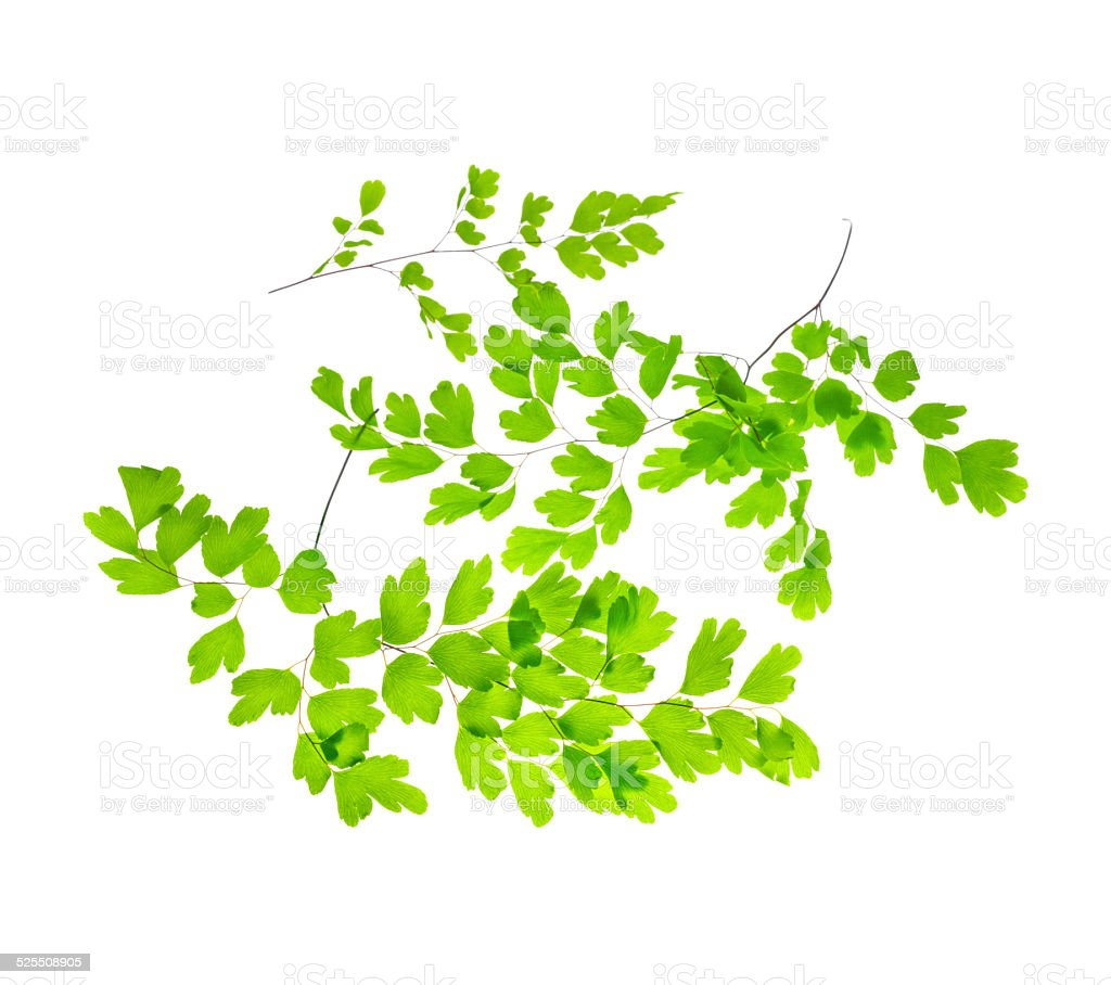 several young green fern branches is isolated on white stock photo