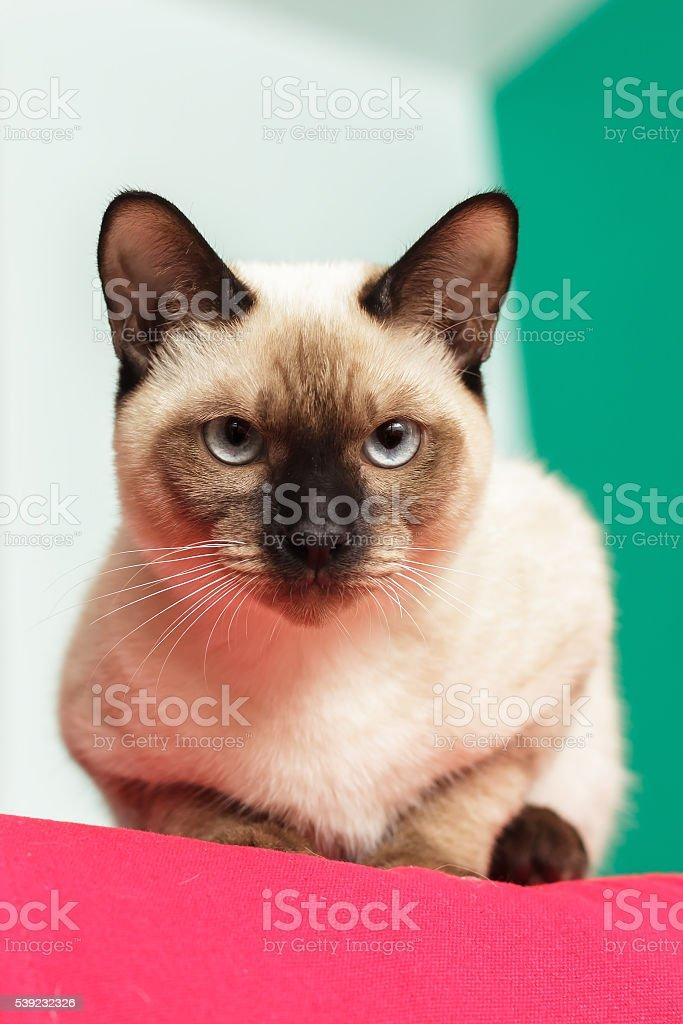 Intensos y graves gato tailandés. mirando estrictamente. foto de stock libre de derechos