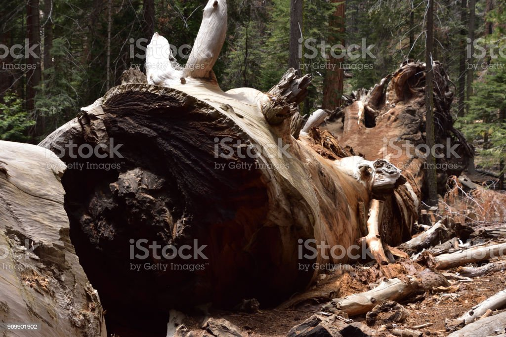 Severed Giant Sequoia Tree Trunk-Sequoia National Forest stock photo