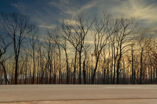 Severely burnt Eucalyptus trees with no leaves after a bushfire in The Blue Mountains stock photo