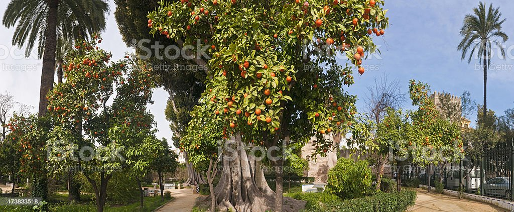 Naranja amarga árboles en el apacible plaza - foto de stock