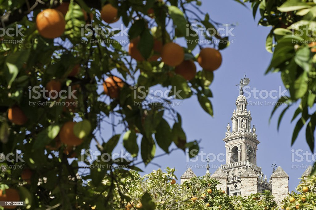 Seville oranges framing La Giralda stock photo
