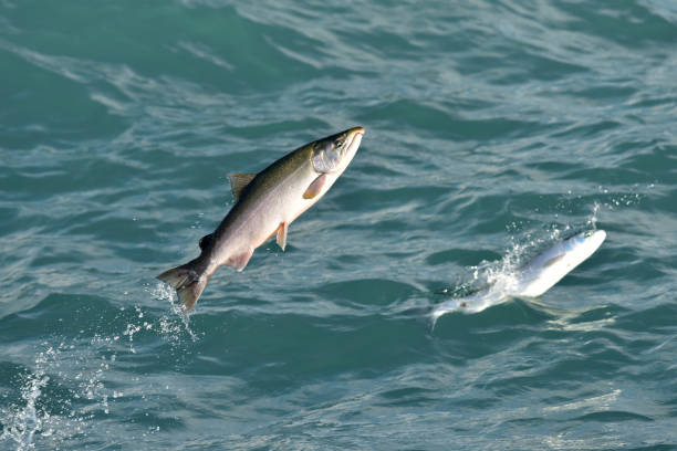 Seward Silver Salmon stock photo