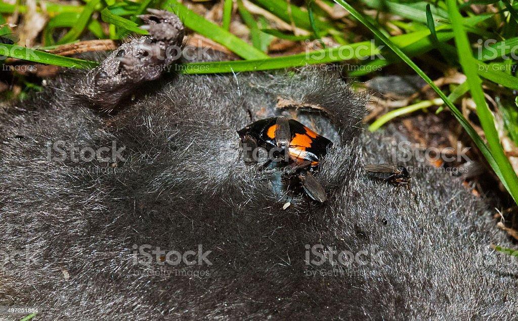 Sexton beetle stock photo