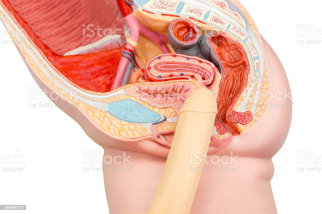 Sexual human intercourse penis and vagina model - Stock image .