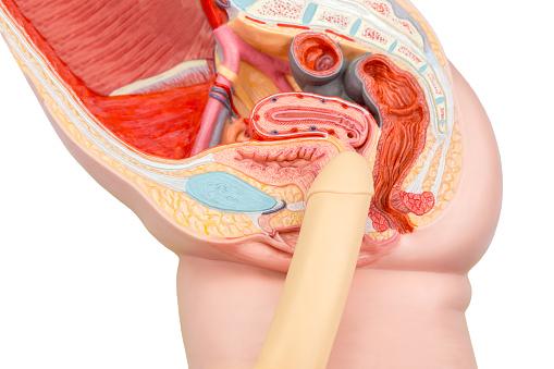 Sexual Human Intercourse Penis And Vagina Model Stock Photo