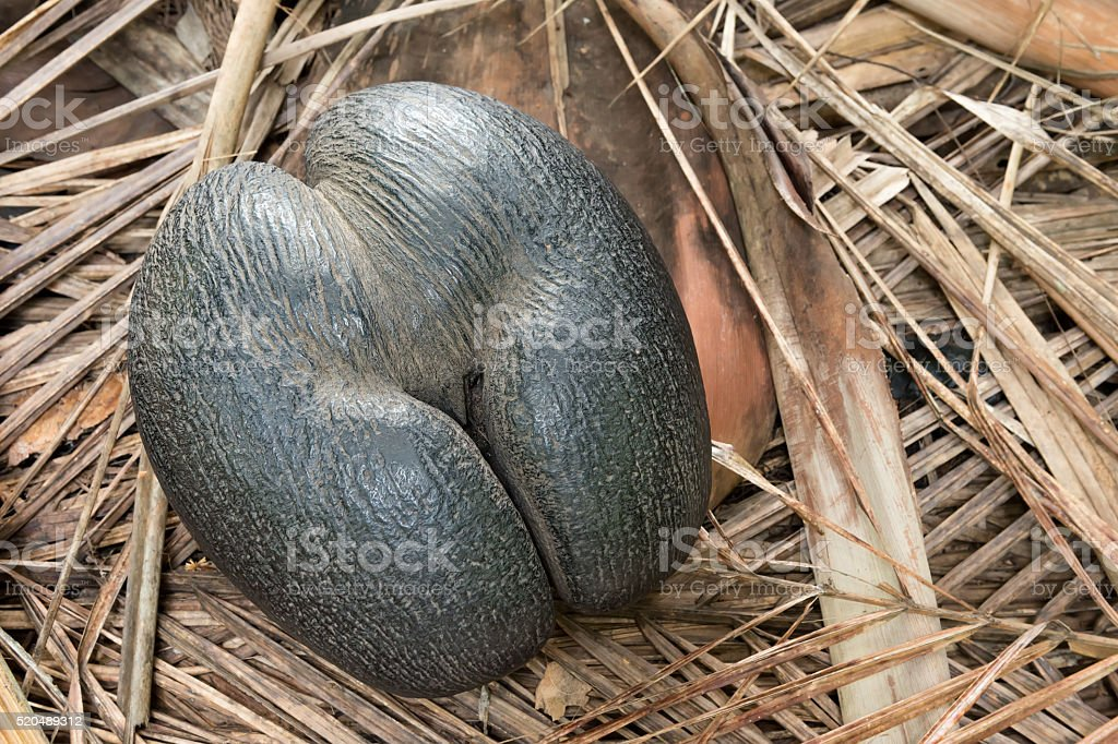 seychelles edemic species coconut named coco de mer stock photo