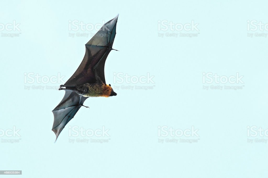 Seychelles flying fox flies in the sky stock photo