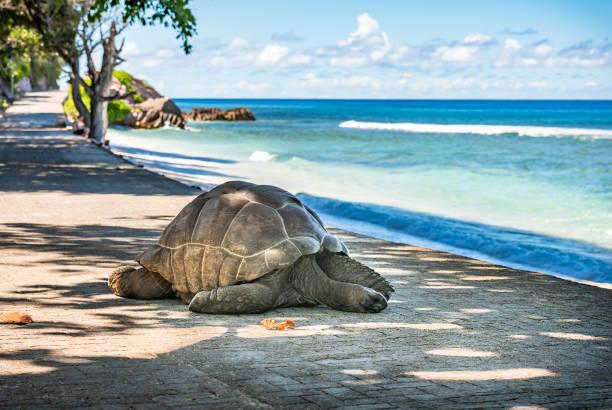 Seychelles giant tortoise, La Digue island. stock photo
