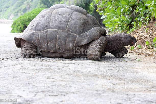 Seychelles giant tortoise picture id480594505?b=1&k=6&m=480594505&s=612x612&h=fbim3rvhajst2ygprszmuzhcwbqdz8hl3ggwah40cmo=
