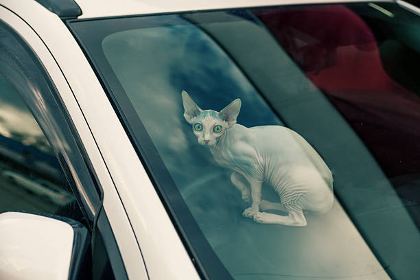 Sfinx cat inside a car looking at camera stock photo