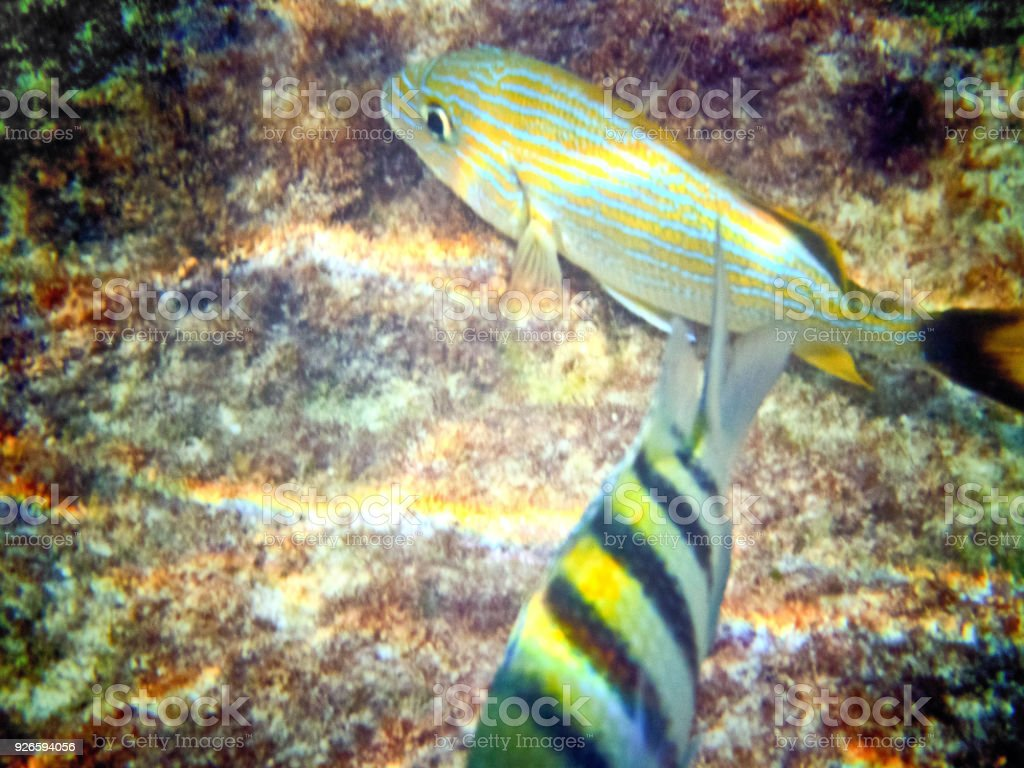 Sgt Major Fish and Blue Striped Grunt stock photo