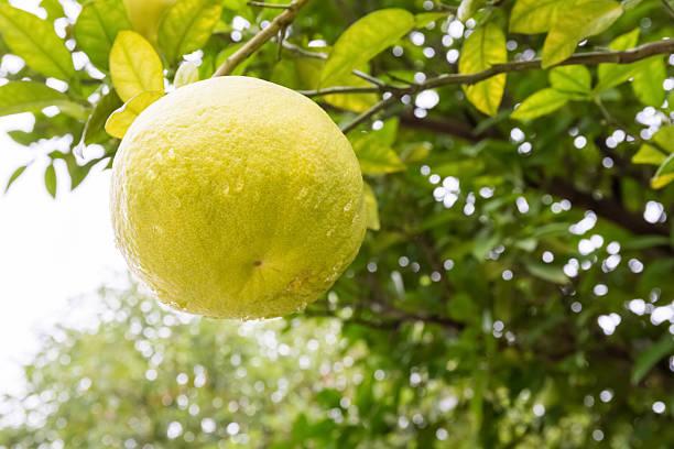 shaddock fruit on tree – Foto