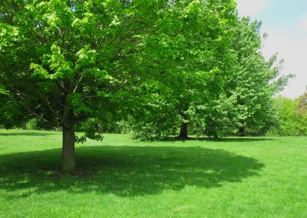 skugga träd i parken - skuggig bildbanksfoton och bilder
