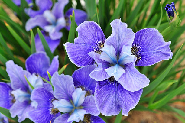 shades of blue - iris flower stock photos and pictures