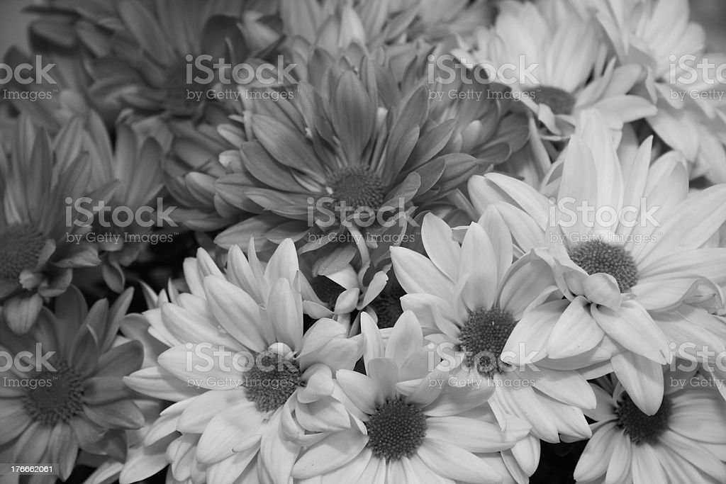 Shades of grey in asters royalty-free stock photo