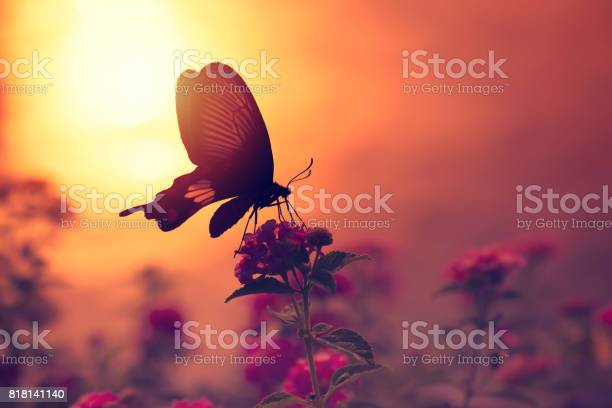 Shadow of butterfly on flowers with sunlight reflection from water in picture id818141140?b=1&k=6&m=818141140&s=612x612&h=pdfovtos0zch pas i9sqdvdogblabsxsyty jalrlk=