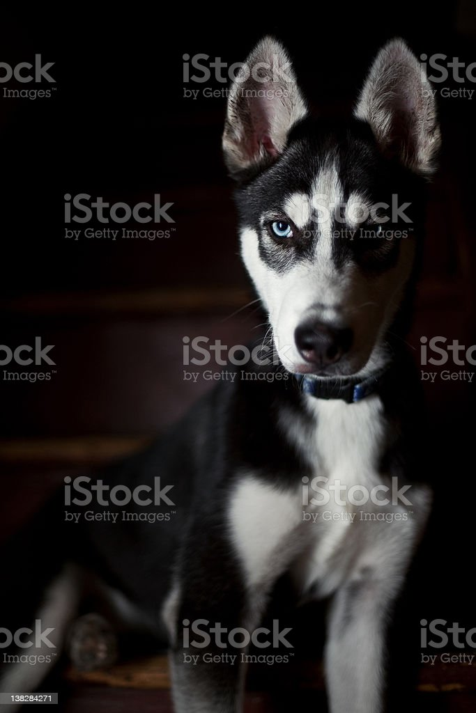 Shadow Siberian Husky stock photo