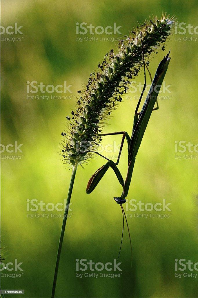 shadow  side of praying mantis royalty-free stock photo