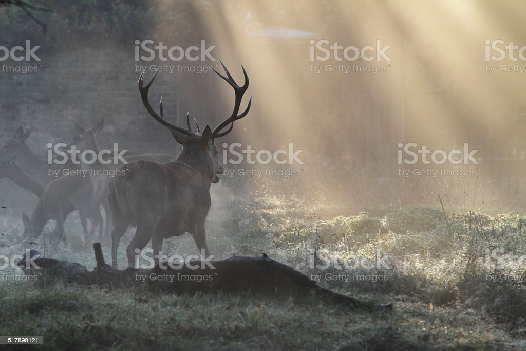 Red deer stag with hinds on frosty misty autumn morning stock photo