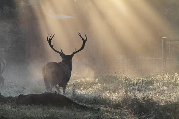 stag silhouette against autumn sunbeams - whiteway deer stock photos and pictures