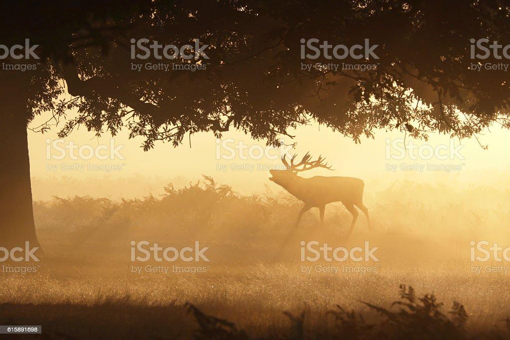 Foggy roar of bellowing red deer stag in orange mist stock photo