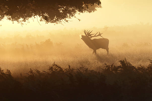 foggy roar of bellowing red deer stag in orange mist - whiteway deer stock photos and pictures