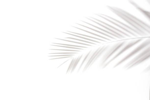 skuggor av palmblad på en vit vägg. naturliga löv träd gren faller på vit vägg konsistens för bakgrund och tapeter. - skuggig bildbanksfoton och bilder