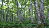 Shady birch deciduous tree forest with green leaves in the Porcupine Mountains Wilderness State Park in the Upper Peninsula of Michigan