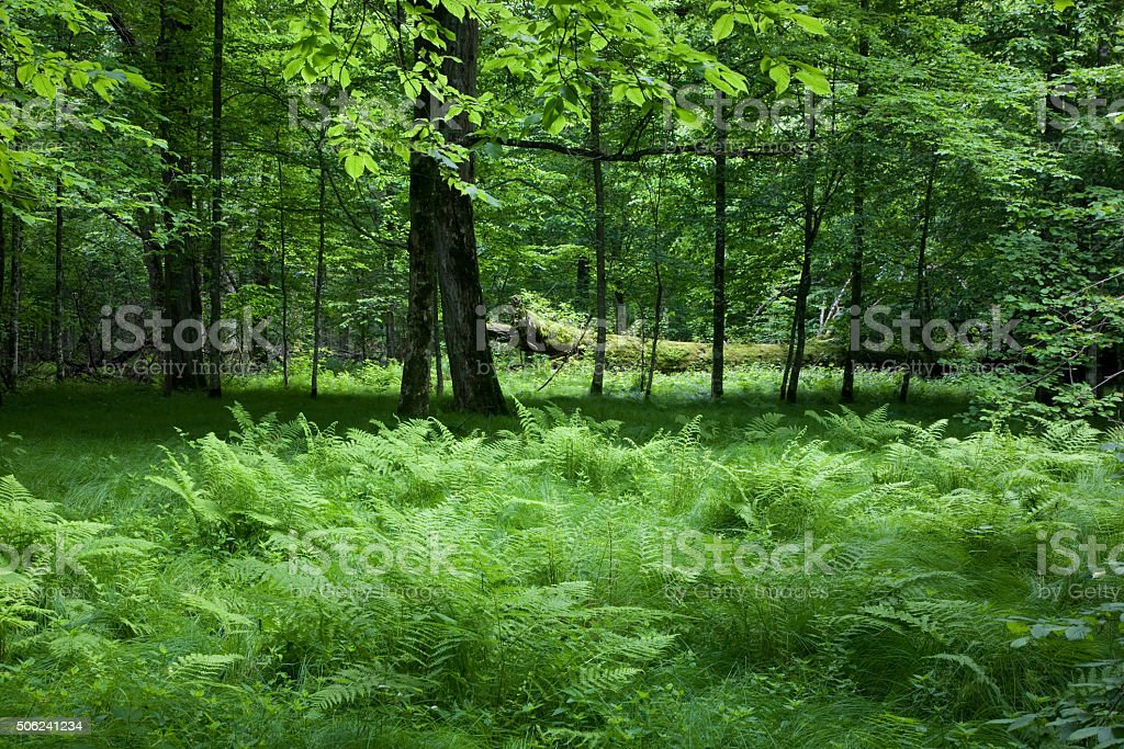 Shady deciduous stand of Bialowieza Forest in springtime stock photo