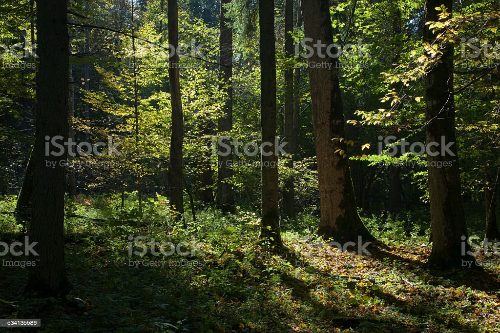 Shady deciduous stand of Bialowieza Forest stock photo