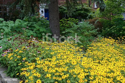 Shady front yard garden with colorful black-eyed susan daisies
