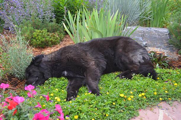 Shady the Wonder Dog asleep in the flowers stock photo