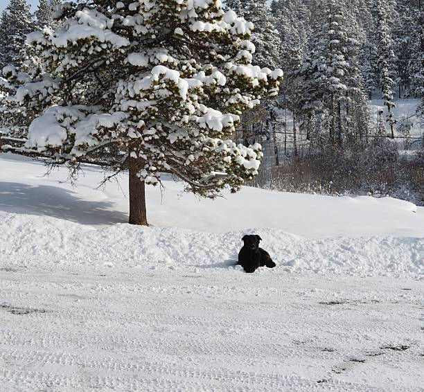 Shady the Wonder Dog stark against the snow stock photo