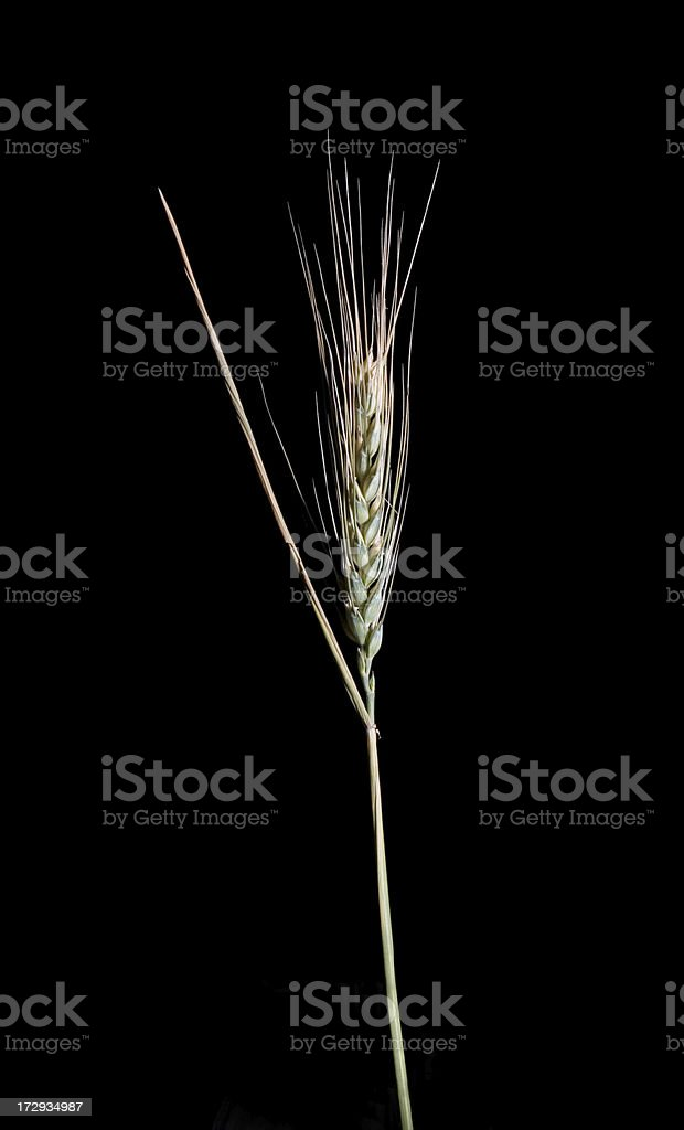 Shaft of Grain Close Up Isolated on Black Background royalty-free stock photo