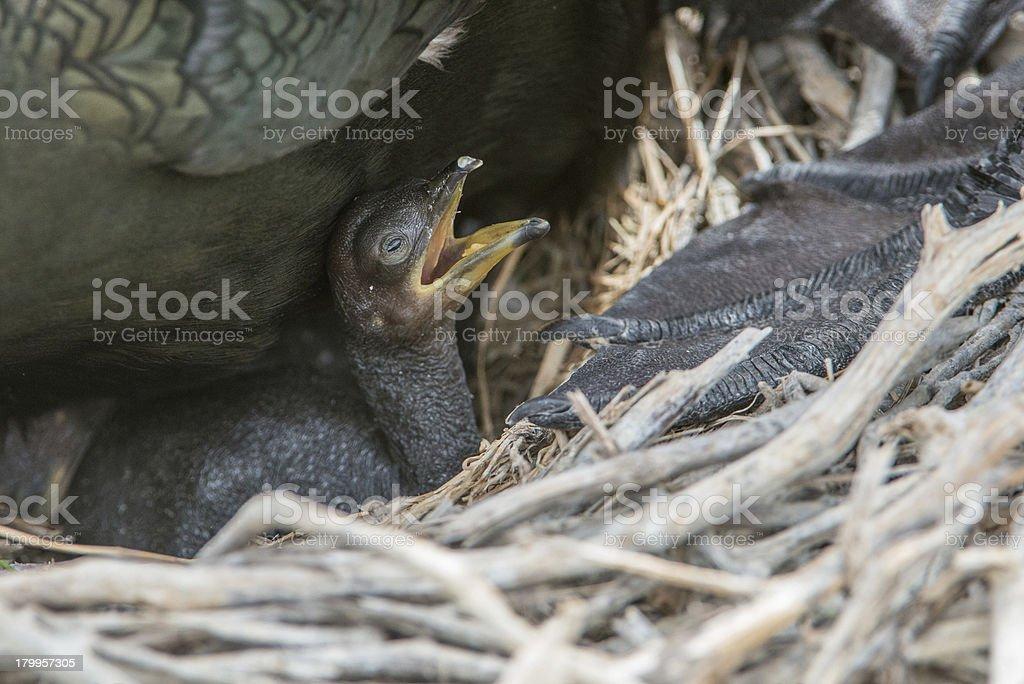Shag family and newly born chick (Farne Islands, UK) royalty-free stock photo