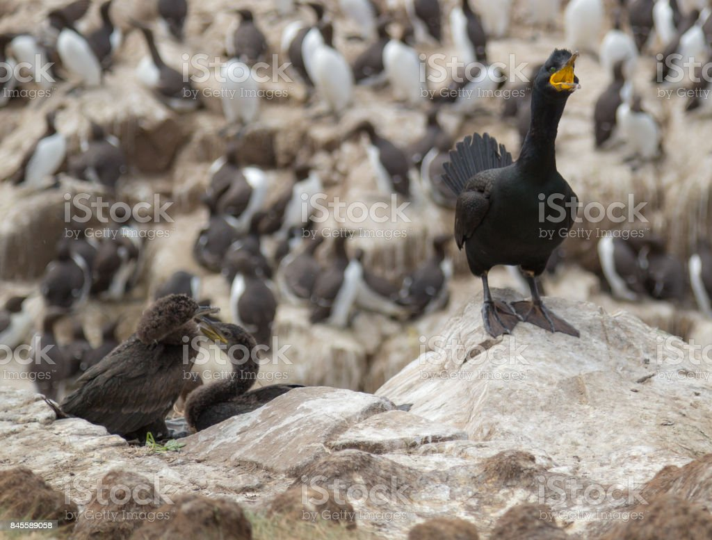 Shag with young stock photo