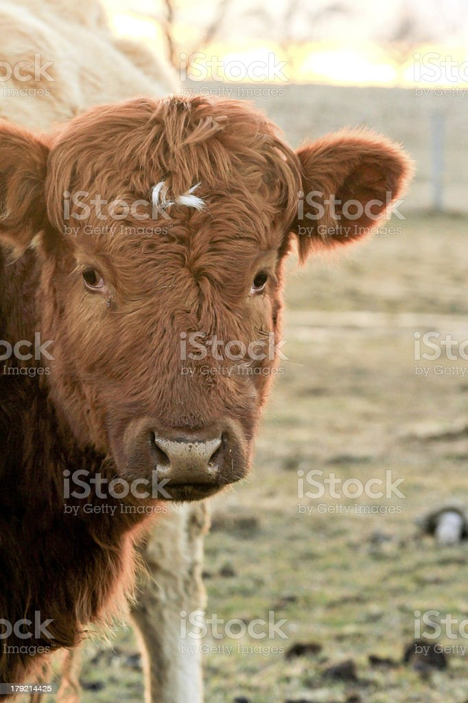 Shaggy brown bull in sunset royalty-free stock photo