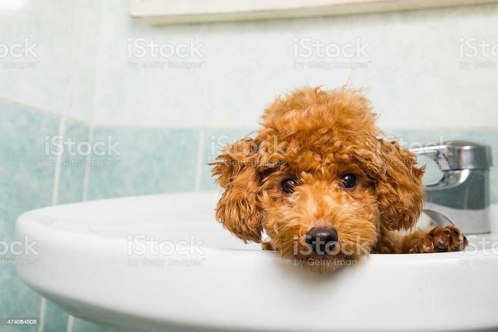 Shaggy brown poodle puppy peaking out of white ceramic sink stock photo