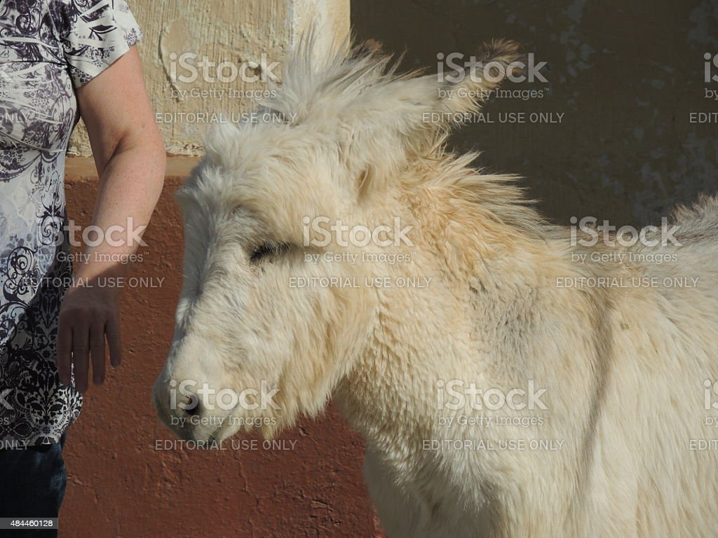 Shaggy burro stock photo