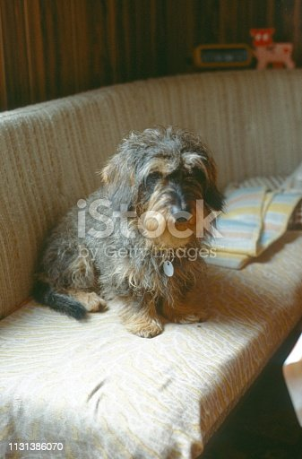 Germany, 1978. Wire-haired dachshund on a kitchen bench.