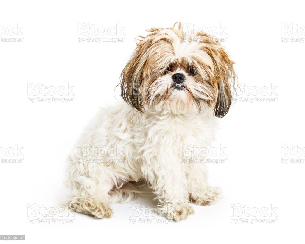 Shaggy Dog in Need of Groom stock photo