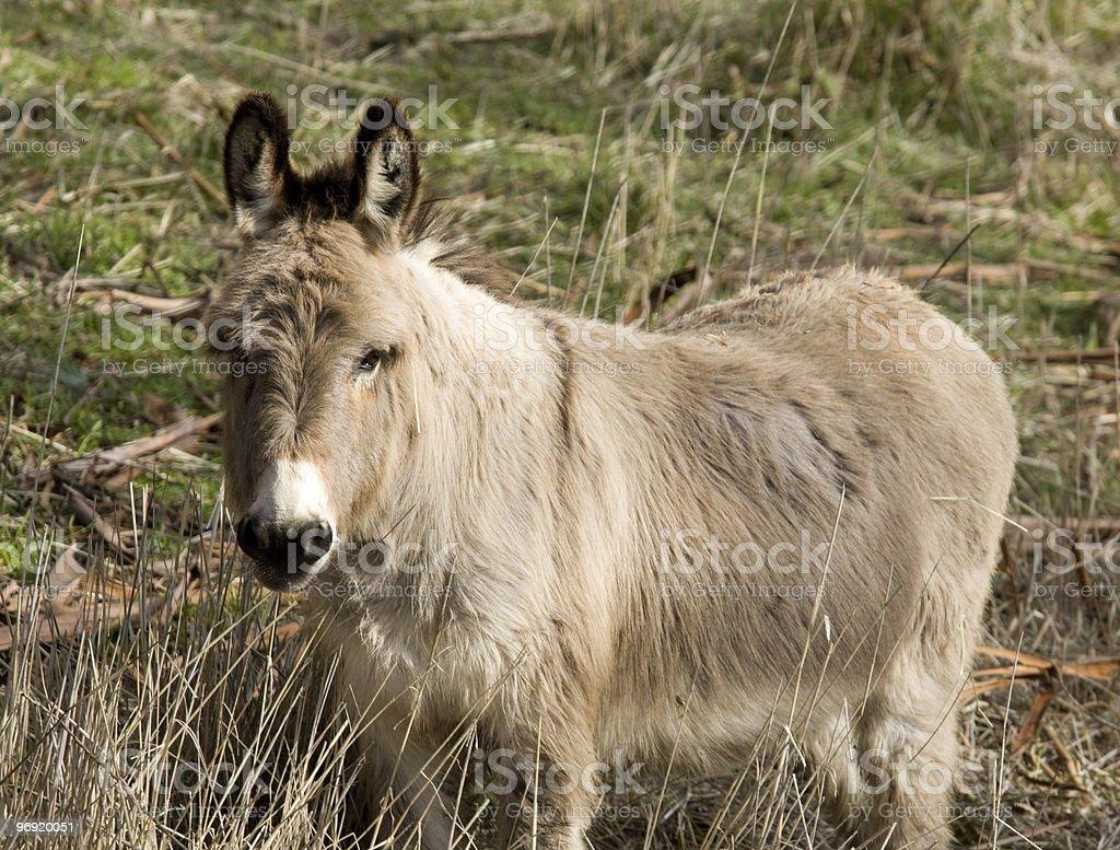 Shaggy Donkey royalty-free stock photo