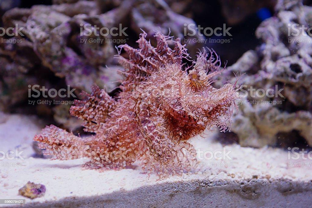 Shaggy frogfish royalty-free stock photo