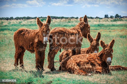 istock Shaggy Poitou donkeys in a green pasture by a stream. 923394328