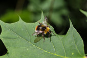 A shaggy wild bee sits on a green leaf