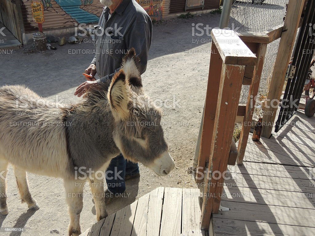 Shaggy wild burro and carrot carrying tourist stock photo